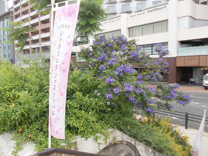 熱海のジャカランタの花
